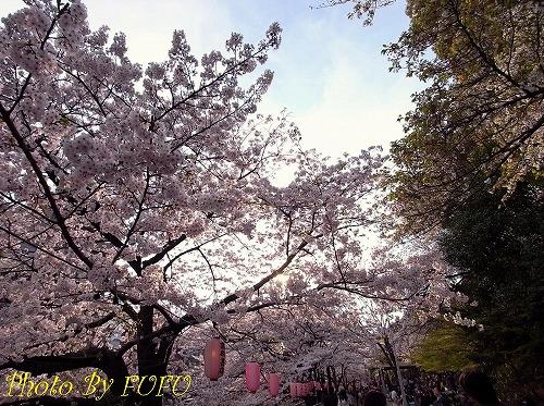 江戸川橋桜2.jpg