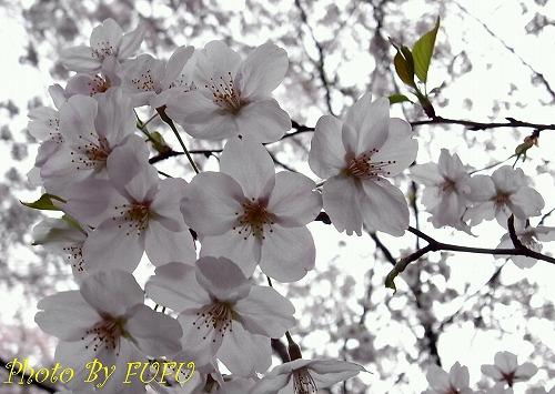 音羽会館桜3.jpg